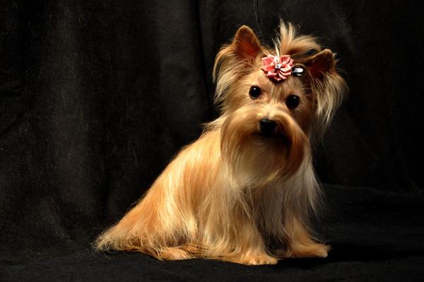Russian salon dog